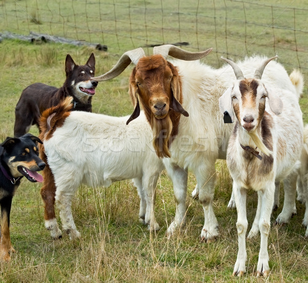 Goats with australian working dogs kelpies Stock photo © sherjaca