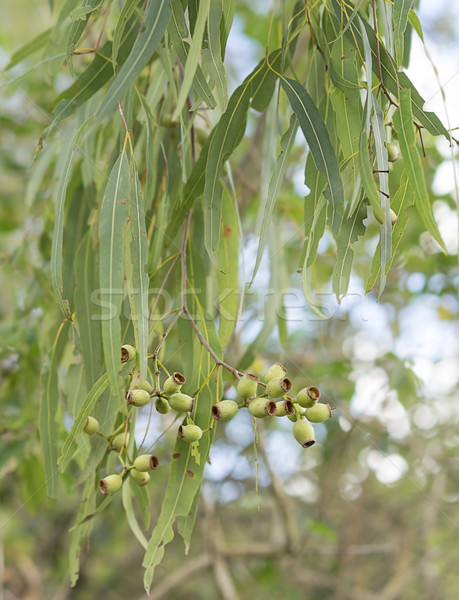 Australian eucalypt gum leaves and gumnuts Stock photo © sherjaca