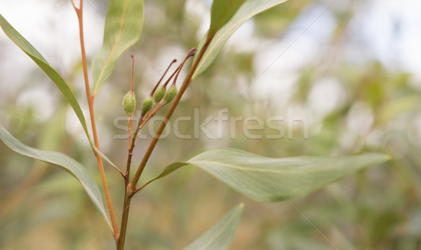 Green seed pods of australian Grevillea orange marmalade Stock photo © sherjaca