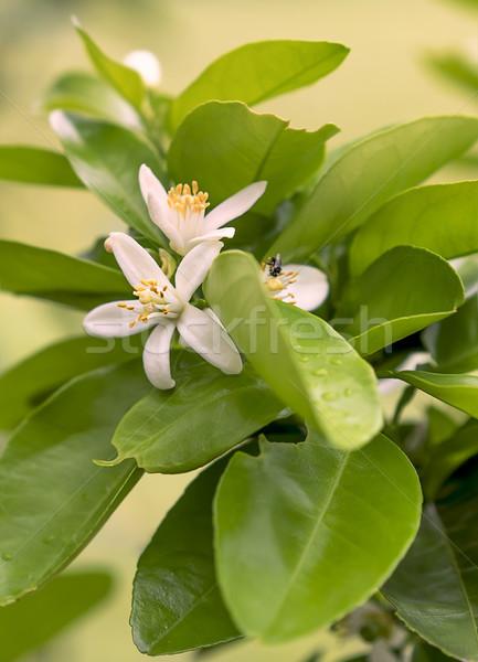 Beyaz turuncu çiçek çiçekler kokulu yeşil Stok fotoğraf © sherjaca