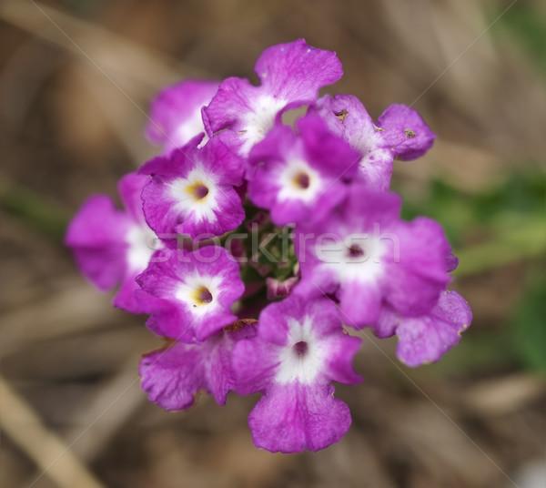 Tóxico erva daninha Austrália natureza fundo macro Foto stock © sherjaca