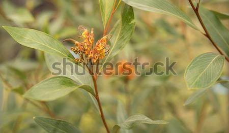 Australian native wildflower Grevillea orange marmalade Stock photo © sherjaca