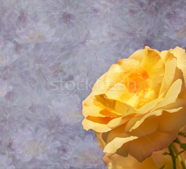 Yellow Rose Flower for Condolences Stock photo © sherjaca