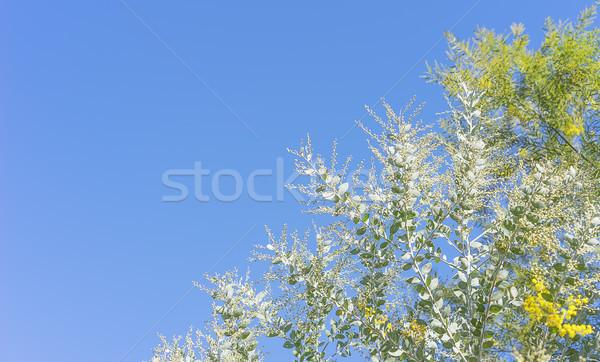 Australian wattle tree background with copy-space Stock photo © sherjaca