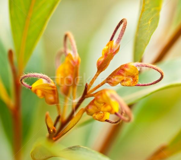 Australian wildflower Grevillea venusta orange flower Stock photo © sherjaca