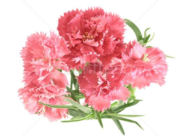 flower posy of carnations Stock photo © sherjaca