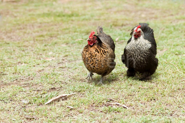 Two organic living free range bantam hens live poultry fowls Stock photo © sherjaca