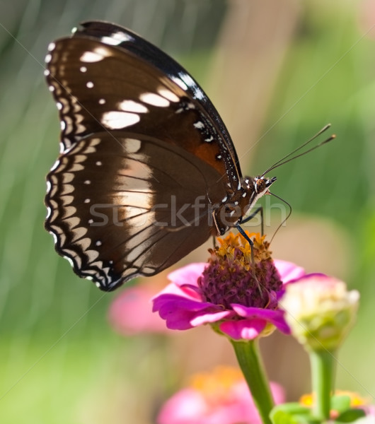 Stock photo: butterfly Hypolimnas bolina Common Eggfly female