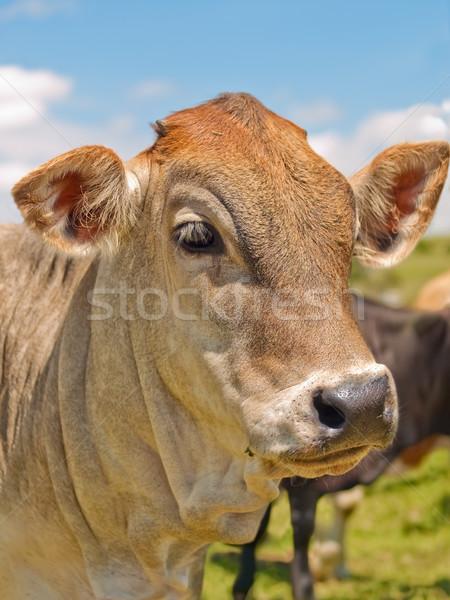 Portre inek mavi gökyüzü arkasında mavi çiftlik Stok fotoğraf © sherjaca