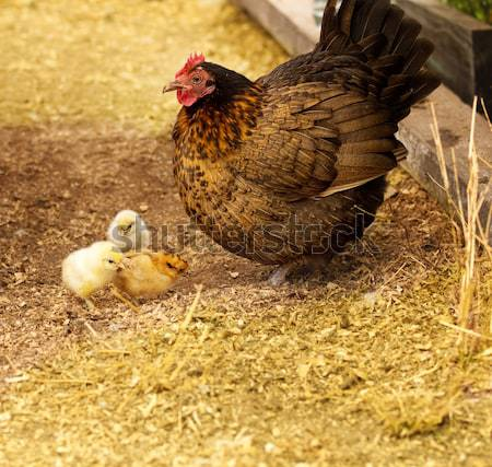 Spring chickens bantam hen with chicks  Stock photo © sherjaca