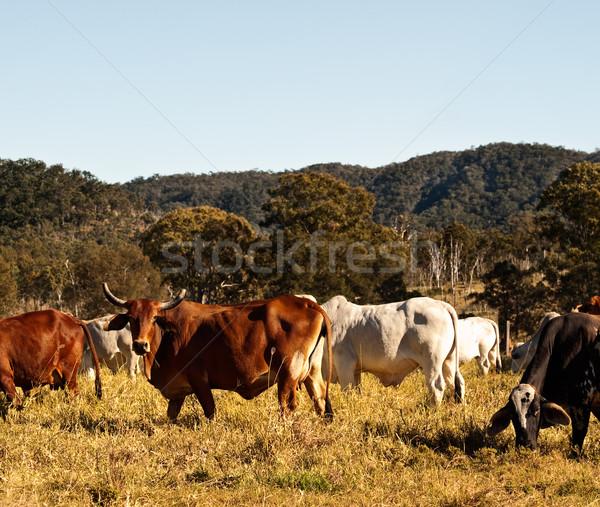 Koe vee land Australië kleur Stockfoto © sherjaca