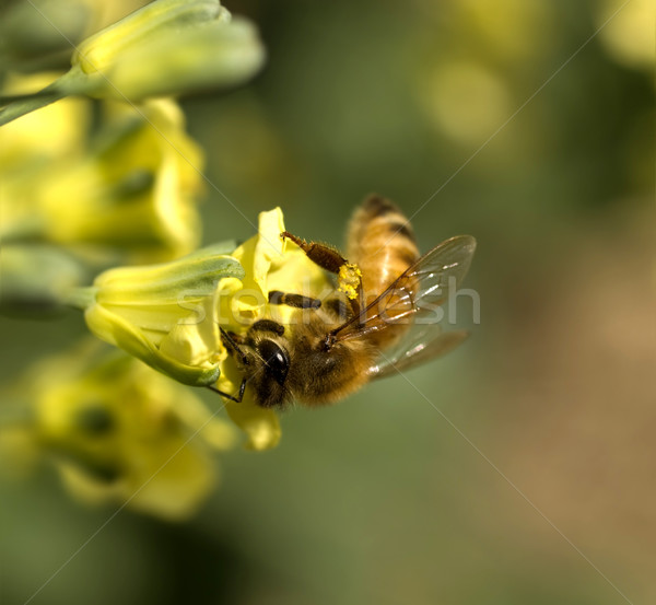 Abeille pollen jaune fleur de printemps brocoli Photo stock © sherjaca