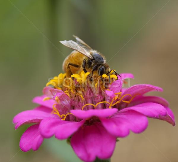 Elfoglalt méh ősz munkás rózsaszín sárga virág Stock fotó © sherjaca