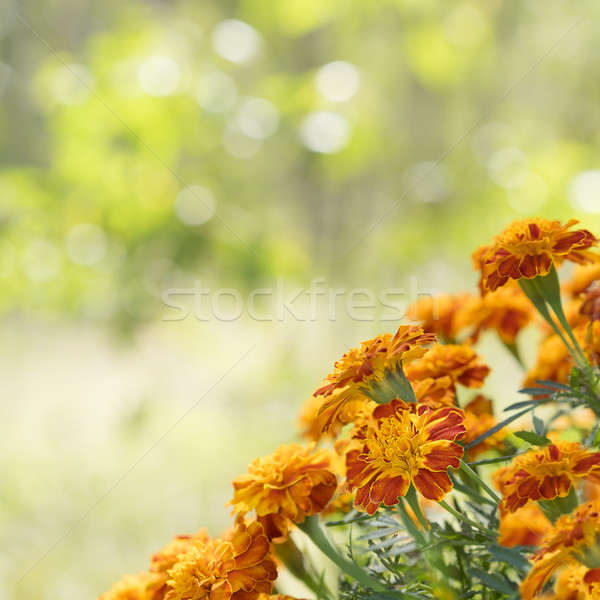 Bright marigold background square view Stock photo © sherjaca