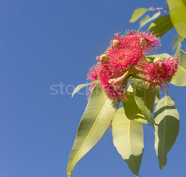 Beautiful red flowers of Australian native gum tree Stock photo © sherjaca
