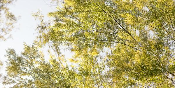 Good morning in Australia with Australian wattle background Stock photo © sherjaca