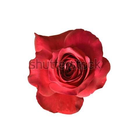 красную розу цветок изолированный Blossom белый закрывается Сток-фото © sherjaca