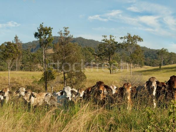 Bovini paese carne scena Foto d'archivio © sherjaca