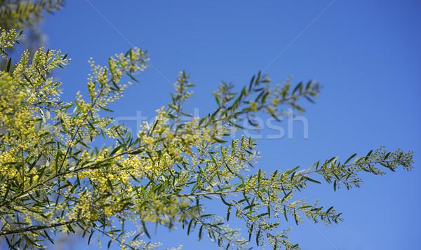 Sunny day background Australian wattle Stock photo © sherjaca