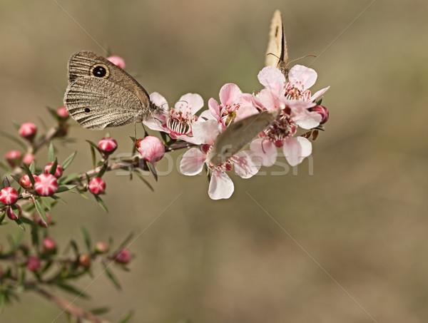 кольца бабочки австралийский цветы Knight бабочка Сток-фото © sherjaca