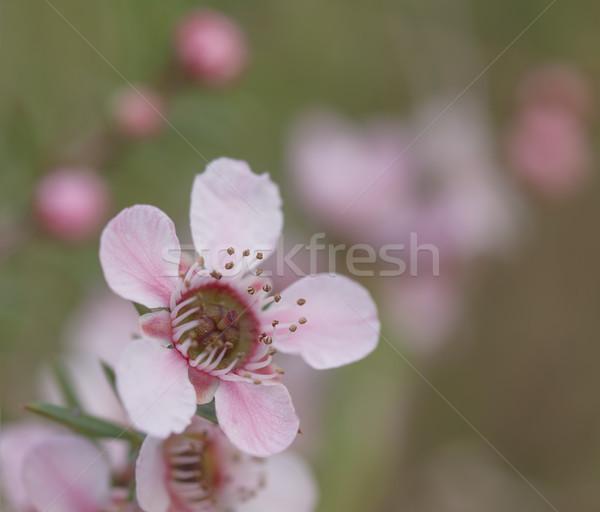 Australiano flores silvestres rosa primavera cascada floral Foto stock © sherjaca