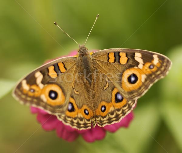 Avustralya kelebek çayır kahverengi Stok fotoğraf © sherjaca