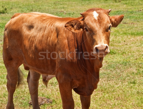 australian beef cattle, young hereford angus cross bred cow Stock photo © sherjaca