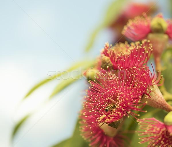 Ausztrál természet méh piros virágok íny fa Stock fotó © sherjaca