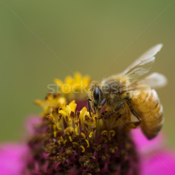 autumn honey bee worker collecting pollen from pink flower Stock photo © sherjaca