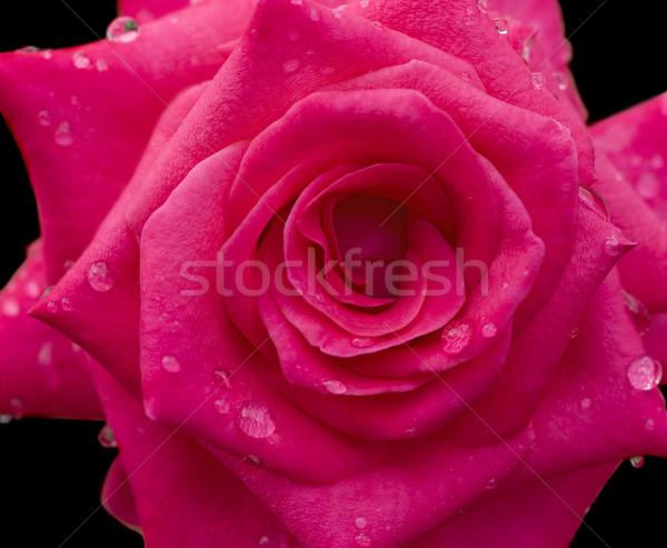 Regendruppels Rood rose bloem zwarte vers dauw Stockfoto © sherjaca