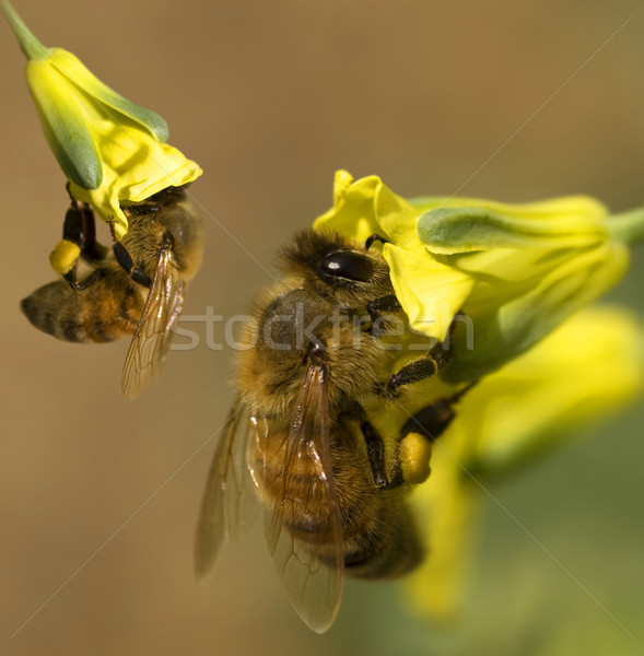 busy spring bees collect pollen from yellow broccoli flowers in  Stock photo © sherjaca