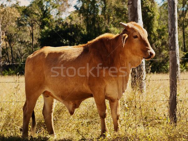 Avustralya sığır eti sığırlar genç boğa kırmızı Stok fotoğraf © sherjaca