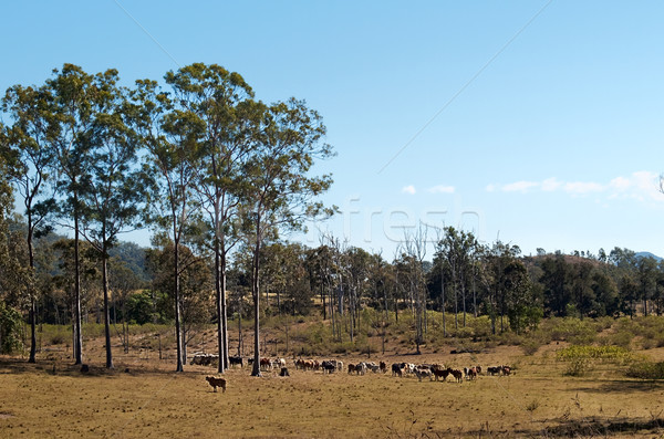 Australian country cattle herd with gum trees Stock photo © sherjaca