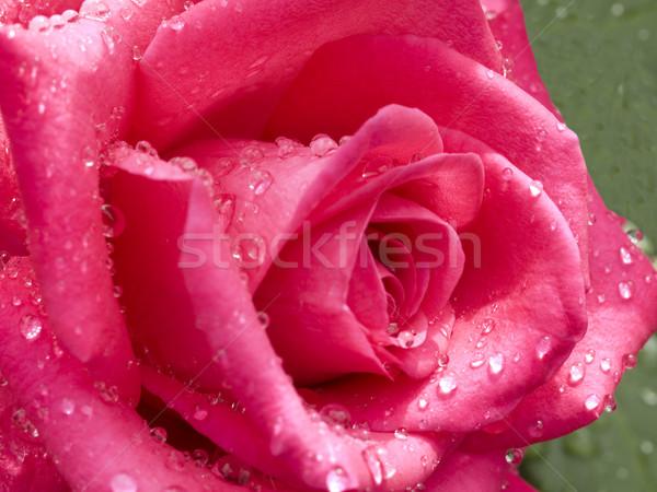 Rosa gocce di pioggia primo piano bella rosso fiore Foto d'archivio © sherjaca
