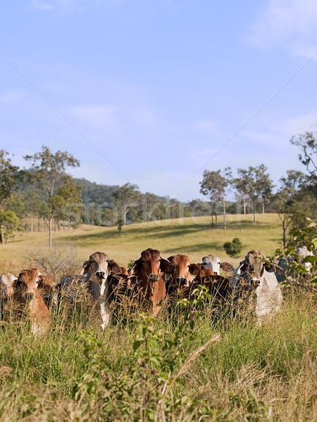 Hidden herd of beef cattle Stock photo © sherjaca