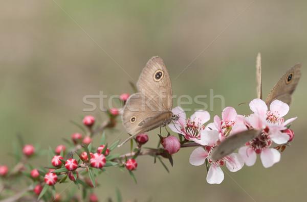 Spring Dingy Ring butterflies on pink Australian leptospernum flowers Stock photo © sherjaca