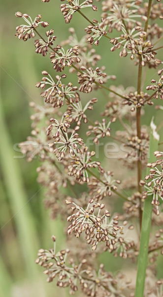 Australian wildflower flora of Lomandra multiflora Matrush Stock photo © sherjaca