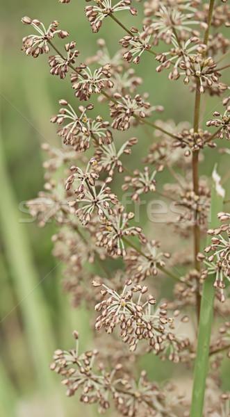 австралийский диких цветов флора весны родной трава Сток-фото © sherjaca