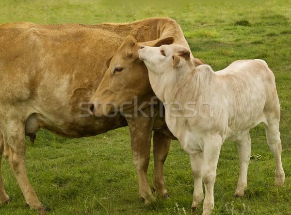 spring time animals - mother  love  charolais cow with baby brahman cross calf  Stock photo © sherjaca