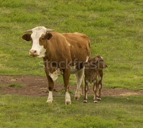 Ausztrál marhahús szarvasmarha fajta tehén kereszt Stock fotó © sherjaca