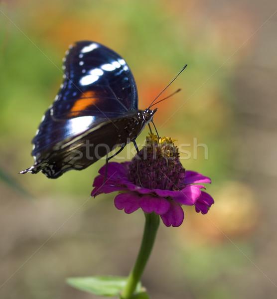 Kelebek kadın çiçek siyah Stok fotoğraf © sherjaca