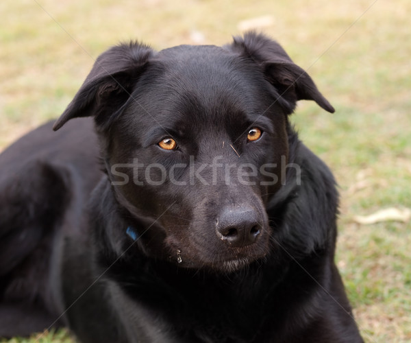 Australian working dog black kelpie pure breed Stock photo © sherjaca