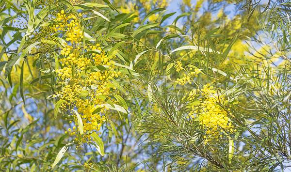 Australian bush scene with wattle flowers Stock photo © sherjaca