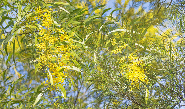 Busch Szene Blumen golden gelb Stock foto © sherjaca