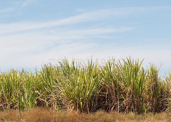 Zuckerrohr Plantage Bauernhof blauer Himmel Kopie Raum Gras Stock foto © sherjaca