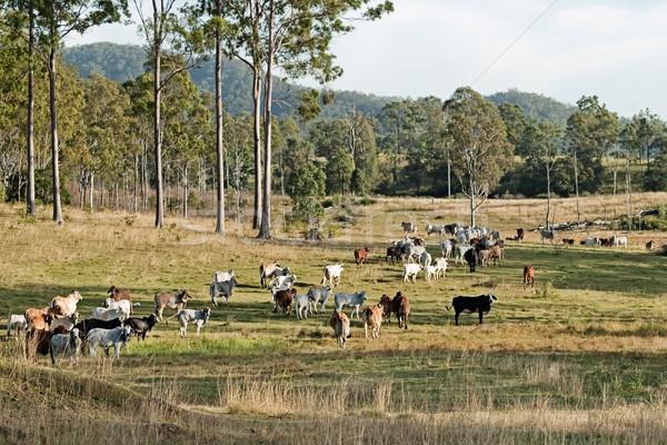 Australisch vee land landschap rundvlees landelijk Stockfoto © sherjaca