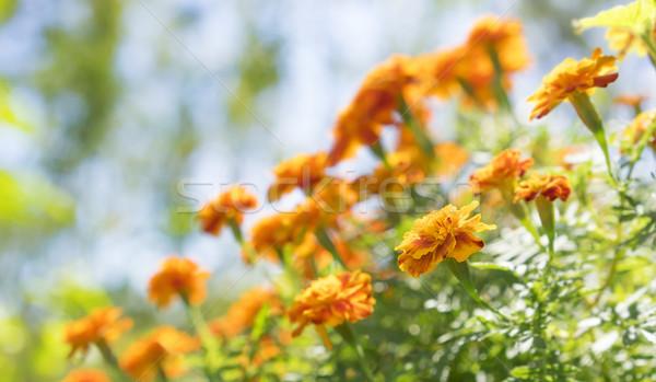 ярко желтый оранжевый растущий саду Сток-фото © sherjaca