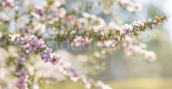 Voorjaar australisch roze bloemen sympathie kaart Stockfoto © sherjaca