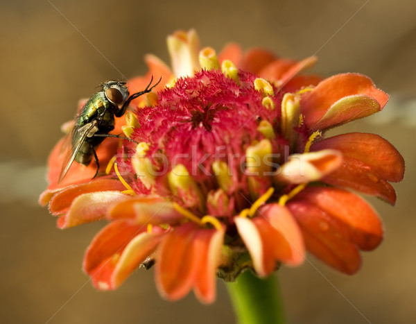 Vliegen oranje bloem vergadering Stockfoto © sherjaca