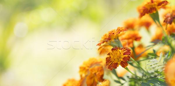 Colorful Golden Calendula Marigolds Background Stock photo © sherjaca